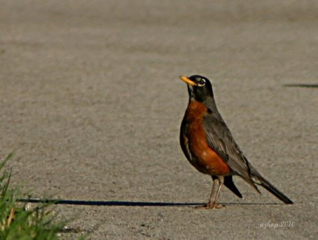 Mr Robin by ajhop