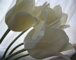 white tulips by jenneyc