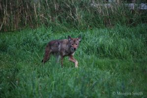 Cody the Coywolf II by Pagan-Inspiration