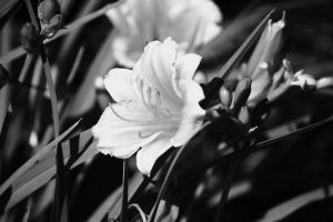 Monotone Daffodils by dunnalildiffernt
