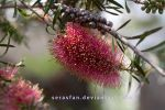 callistemon flower by serasfan