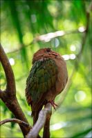 Emerald Dove by CBillington