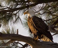 Bald Eagle130525-26 by MartinGollery