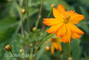 Cosmo Flower and Bud by JBaxterPhotography