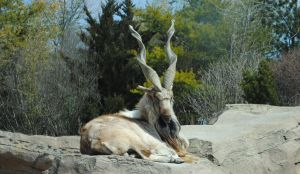 Markhor by moonshine09-stock