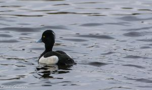 tufted duck swimming away by chivt800