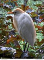 Demure Cattle Egret by In-the-picture
