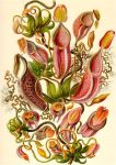 Haeckel Ernst Pitcher Plants by Cassy-Blue