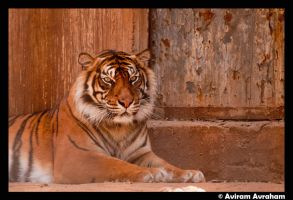 Sumatran tiger by avirama85