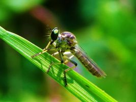 Robber Fly by Stone1980