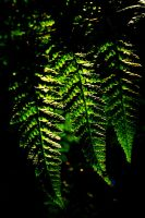 Summer Echo: three ferns by Coigach