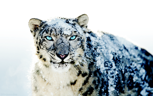 Snow Leopard Enhanced by blindexodus