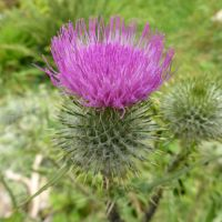 Spear Thistle - Front Garden by SrTw