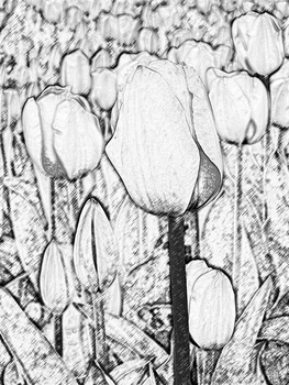 Tulips - Photoshop Edit by Maddy-The-Proxy