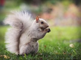 White Squirrel by zvaella