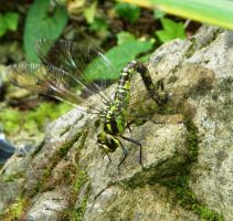 ...visit of the  dragonfly... by floriaiglenoir