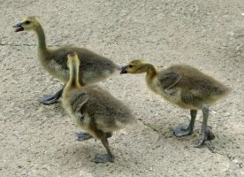 724 - goslings by WolfC-Stock