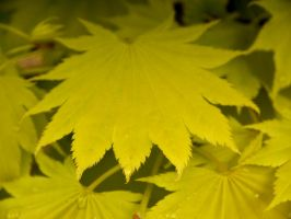 Acer Leaves II by Softspoken-One