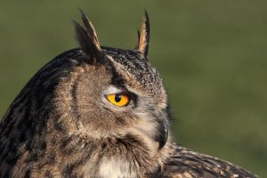 Eurasian Eagle Owl 2 by cycoze