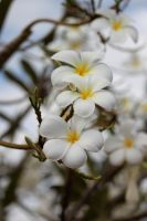 White flowers by ThousandTimes221