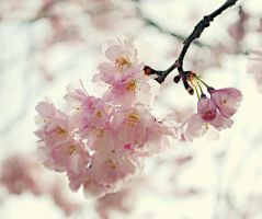 pink blossom by BeciAnne