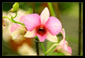 Orchid 3 by ShlomitMessica
