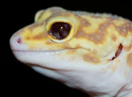 Albino Eclipse Leopard Gecko eyes II by Phoenix-Cry