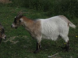 Brown/White Goat STOCK by cutedeviantfangirl