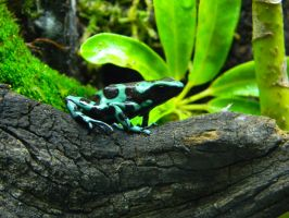 Dendrobates Auratus 'Hawaiian' by Blacksky959