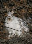 Wild Canadian Bunny by aquarion21