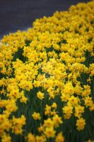 Daffodils by the Road by agnott