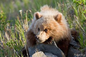 Grizzly resting on a rock by softflower