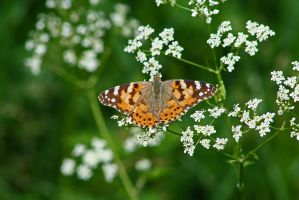 Painted Lady butterfly by Singingnaturist