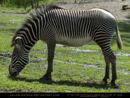 Zebra Stock 1 by SalsolaStock