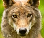 Alpha Male Wolf by PictureByPali
