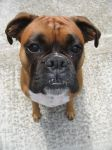 My Boxer Dog 2 RIP by sonicrules100