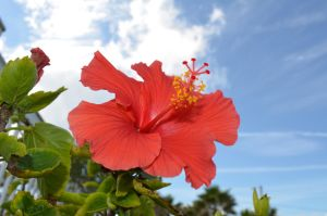 Hibiscus1 by dsweetz