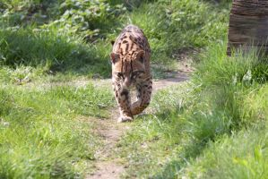 Big cat stock 1 by Random-Acts-Stock