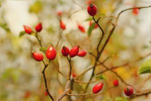rose hip in autumn by hv1234