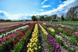 Mixed tulip field by Vernogen