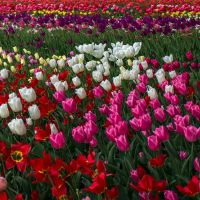 13-05 tulip field #4 by evionn