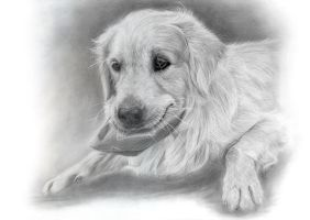 Billy - Golden Retriever by Ileina