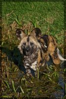 African Wild Dog by 1the1