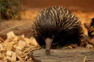 short-beaked echidna by Quiet-bliss