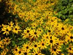 A patch of black eyed susans by xLostRemedyx
