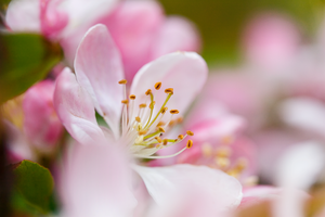 Blossom0080 by PeterHosey