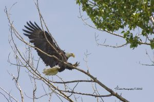 The Eagle is Landing by ainsliehubert
