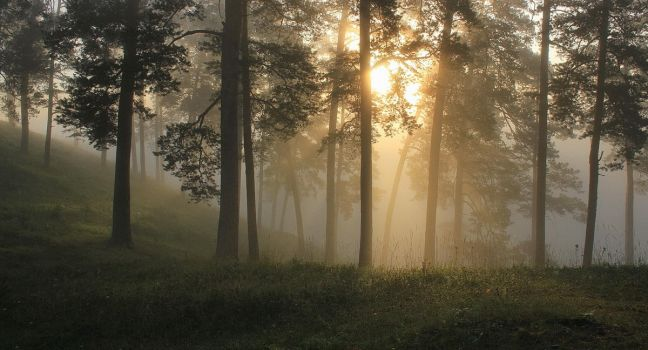 Morning in a pine forest by Hudojnica