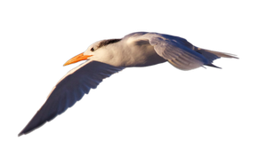 STOCK Royal Tern Flying (with Alpha Layer) by netzephyr