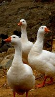 The Geese by Zilch17